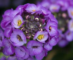 Sweet Alison (chrys goote) Tags: alyssum alyssummaritimum brassicaceae gordonsbay lobulariamaritima sweetalison sweetalyssum