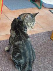 Masai ! (Mara 1) Tags: cat kitten pet animal indoors chair window white blinds face ears tabby stripesblack grey coat fur tail carpet blue mat whiskers tiles sunny shade paw collar