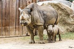 Mama Nane & Baby Najuma (Rolf Piepenbring) Tags: zoo zookrefeld nashorn rhino rhinozerus rhinoceros