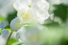 Can you feel the sun? (Eklis273) Tags: bauernjasmin garten garden flower blume grn green weis white yellow gelboutdoor sunlight sonnenlicht blhen blooming samyang sonya6000 extensionring zwischenring makro macro englishdogwood plant
