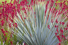 9177Spring16 (Robin Constable Hanson) Tags: desert flowers gardens green horizontal kangaroopaw leaves red teal yucca