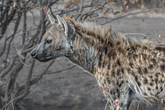 s AT Hyena mom_DSC_9716 (Andrew JK Tan) Tags: 2016 safari botswana mashatu hyena wildlife nature