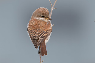 Red-backed Shrike-71