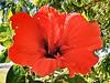 Hibiscus Rosa-Sinensis - Hibisco - Flora - Graal Estrela - Queluz-SP (Regis Silbar) Tags: regissilbar regis silbar hibiscusrosasinensis hibisco flora flor florvermelha queluz sp estadodesãopaulo