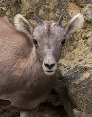 Rocky Mountain Bighorn Lamb (Eric Gofreed) Tags: rockymountainbighornlamb rockymountainbighornsheep wyoming yellowstone