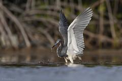 Garza Tricolor (Egretta tricolor), Tricolored Heron (Dax M. Roman E.) Tags: garzatricolor egrettatricolor tricoloredheron daxromán