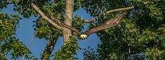 Bald Eagle..... (Kevin Povenz) Tags: 2016 july kevinpovenz westmichigan michigan ottawa ottawacounty ottawacountyparks grandravinesnorth baldeagle eagle bird birdsofprey flight nature wildlife outside outdoors canon7dmarkii sigma150500 wings tree fly morning bluesky