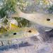 Yellowstripe Goatfish - Mulloidichthys flavolineatus