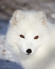 Arctic Fox in winter coat (Mrscurlyhead) Tags: portrait white norway closeup canon eyes wintercoat fox langedrag arcticfox alopexlagopus polarfox whitefox canoneos60d