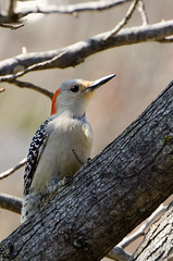 Woody (stormann18) Tags: bird birds outdoors spring woodpecker nikon ks kansas cropped 28 topeka 70200mm 2013 vrii d7000 flickrandroidapp:filter=none
