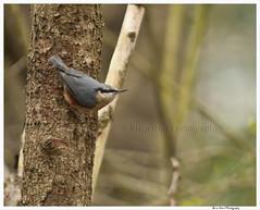 Risley Moss 34 (Brian Gort Wildlife Photography) Tags: bird nature birds moss warrington cheshire wildlife reserve british nuthatch risley