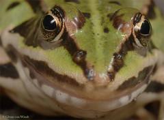Rana Esculenta (Glenn van Windt) Tags: macro nature amphibians rana kikkers mpe65 mt24ex amfibieen