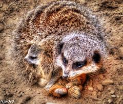 Mum and baby (NSJW photos) Tags: baby meerkat kitten mum friendlychallenges