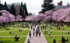 Quad Crowd (sea turtle) Tags: seattle college uw campus cherry washington spring university blossom blossoms quad bloom cherryblossom cherryblossoms blooms universityofwashington cherrytree cherrytrees blooming