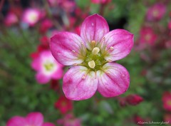Saxifrage (Lissyanne (fighting pain daily)) Tags: pink flower macro nature closeup garden petals blossom saxifrage perfectpetals amazingdetails silveramazingdetails persephonesgarden