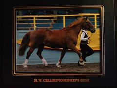North West Championships (chezabela) Tags: chestnut veteran cob tetley welshcob sectiond inhandshowing crofttop cyfyngflyer