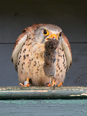 Man met muis (1) (Jan Visser Renkum) Tags: kestrel falcotinnunculus torenvalk commonkestrel