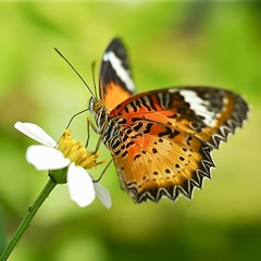 For As Long As I Live..... (Anna Kwa) Tags: macro art nature singapore leopardlacewing cethosiacyane butterflylodge heliconiinebutterfly