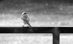 bird 1 (ondey) Tags: bw white black bird nature birds small chickadee litle ptk proda skora skorka ernobl ptek