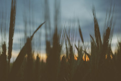 sunset. (emmzies) Tags: sunset field farm wheat country pasture crop newswedentexas
