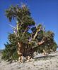 Field Study (walking along) Tags: california whitemountains bristleconepine pinus g9 longaeva journalististyle