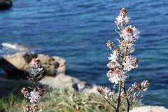 Santa Ponca Affodill (Peeping Thom) Tags: sea flower water meer wasser shore ufer blume mallorca santaponca balearen bucht balears affodill