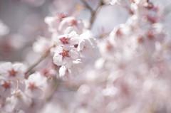 (nag #) Tags: pink flowers plant flower color tree nature beautiful field japan landscape asian japanese spring asia dof emotion pentax bokeh spirit zen april  cherryblossom  environment sakura softfocus oriental  orient yamato         da55mm mygearandme blossomblossoms