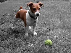 Holly (Kearneyjimbo) Tags: dog pet ball holly tennis jackrussell bestfriend
