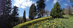 Yellows (ste.it) Tags: panorama parco primavera spring pano sony fiori daffodils gialli burcina narcisi rx100
