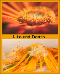 Life and Death (rosejones1uk) Tags: orange flower dead bright alive week1652