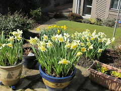 My Garden (ShelaghW) Tags: nature gardens scotland spring seasons mygarden myhome daffodils springtime containers containergardening windowledges shelaghw