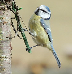 blue tit 016 (ivorrichardk) Tags: seagullandbuzz