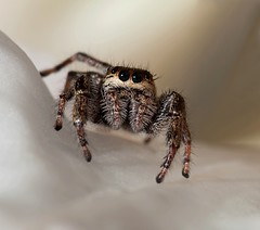 Jumping Spider (gordeau) Tags: hairy macro hair spider eyes gordon ashby flickrchallengegroup flickrchallengewinner thechallengefactory gordeau