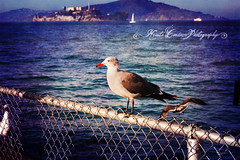 (Krista Cordova Photography) Tags: sanfrancisco blue cold bird birds grey seagull gull gray bluewater alcatraz sanfranciscoca sanfranciscocalifornia coldwater orangebeak greybird graybird