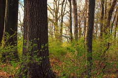 Leaf-Out (Nicholas_T) Tags: trees nature forest spring pennsylvania creativecommons vegetation deciduous lehighvalley undergrowth spicebush oldgrowthforest understory northamptoncounty louisewmoorepark louisewmoorecountypark relictforest temperatedeciduousforest matsonswoods