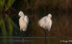 Binome.... (Régis B 31) Tags: bird explore oiseau littleegret ariège egrettagarzetta aigrettegarzette mazères ardéidés pélécaniformes canon5dmarkiii domainedesoiseaux