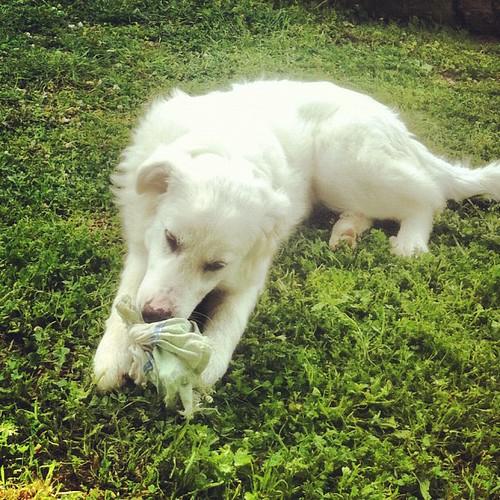 La felicità è un vecchio straccio. #dogs #white #pets #voltidipietra #arya