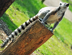 Things could be looking Up (littlestschnauzer) Tags: elementsorganizer11 ring tailed lemur madagascar sat tree trunk feeding food dinnertime woods yorkshire wildlife park striped tail black white grey coloured king julian characters leap jump climb trees agile animals fun funny 20th april 2013 spring uk tourist attraction family day out