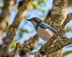 A Western Scrub Jay Day: Have a great Weekend (mwbergeron01) Tags: bird jay scrubjay westernscrubjay