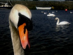 Are You Looking at Me? (mcginley2012) Tags: eye galway nature swan gulls beak waterfowl claddagh muteswan cygnusolor rivercorrib