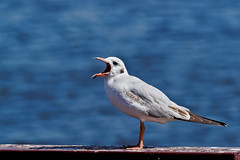 850E5581- Soooo Boringggg Today (crimsonbelt) Tags: park sea nature birds creek dubai bokeh wildlife gull