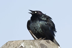 Brewer's Blackbird Male Pumped up & Singing (marlin harms) Tags: blackbird brewersblackbird euphaguscyanocephalus maleblackbird blackbirdsong