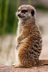 Keeping Watch (b_roberts) Tags: nature animal meerkat wildlife australia melbourne victoria werribeeopenrangezoo