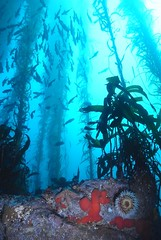 Point Lobos, Carmel (clear_eyed_man) Tags: underwater scuba kelp carmel