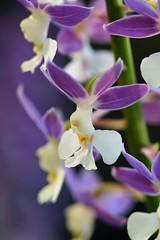 えびね (海老根)/Calanthe-1 (nobuflickr) Tags: orchid flower nature japan kyoto calanthe naturesfinest thekyotobotanicalgarden 海老根 awesomeblossoms えびね persephonesgarden ラン科エビネ属 20130429dsc09086