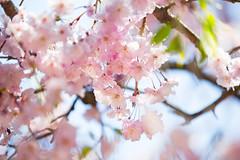 Cherry Blossom (moaan) Tags: life spring dof blossom bokeh joy utata cherryblossom sakura blossoming bliss sprung 2013 inlife canoneos5dmarkiii ef70200mmf28lisiiusm