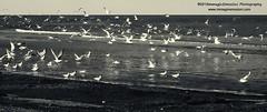 "Simply seagulls ©immaginEmozioni Photography All rights reserved www.immaginemozioni.com (immaginEmozioni Photography) Tags: sea panorama seagulls water birds canon photography coast fly flying gaivotas bn uccelli e spiaggia möwen gabbiani meeuwen onde مرغ ""black white"" mouettes 海鷗 gwylanod måger pescarusi seemeeue gavines måker kaioak カモメ 海鸥 kaijas martılar lokit طيور hải camar دریایی photography"" galebovi mewy žuvėdros 갈매기 galebi ""blackwhite"" kajakad чайки ""bianco nero"" שחפים النورس sirályok pulëbardha γλάροι âu qağayılar canon"" ""bianconero"" นกนางนวล immaginemozioni чайките racků ""immaginemozioni सीगल faoileáin галебите галебови čajok కొంగలు סיגאַלזseascape чайкі mwèt mevoj"