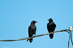 Corvid conversation (photosuze (photos loading too slowly, so sorry if ) Tags: two nature birds animals couple wildlife pair ravens corvuscorax avians commonravens covids windwolvesnaturepreserve