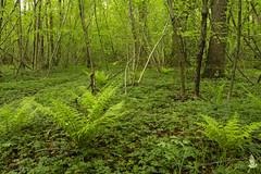 Sottobosco (_milo_) Tags: italy verde green alberi canon eos italia vert piante manfrotto bosco oasi angera felci sottobosco 18135 treppiede 60d bruschera