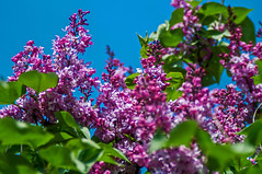 Spring Finally Came (elluckyphoto) Tags: pink flowers blue red sky flower color green nature fleur beauty garden spring bush backyard flavor purple bright sony may lilac